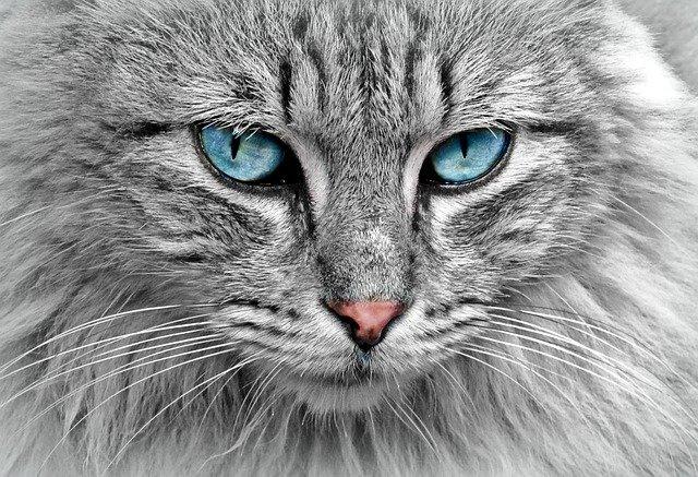 Conseils pour éliminer les puces chez le chat